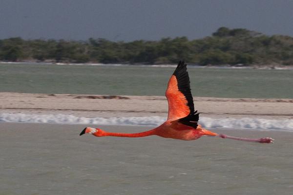 Flamingo<br /> Rio Lagartos, Mexico