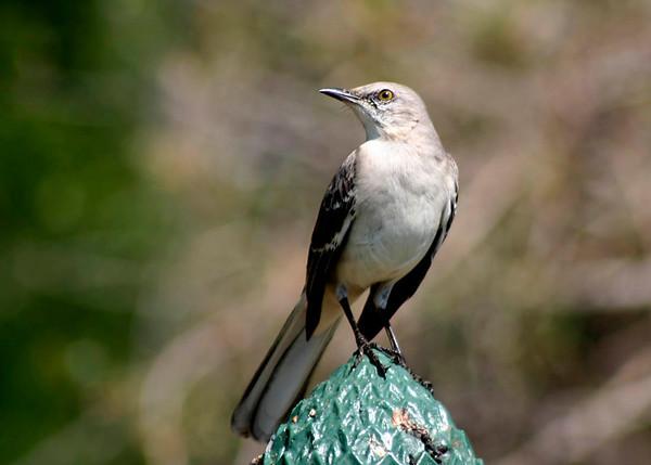 Mockingbird, South Carolina