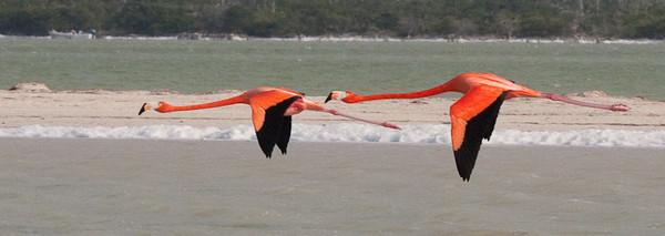 Two flying flamingos<br /> Rio Lagartos, Mexico
