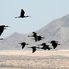 Glossy Ibis, Henderson, NV