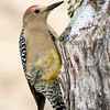 Gila Woodpecker, Mexico