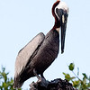 brown pelican 2<br /> Rio Lagartos, Mexico