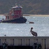 Pelican on fence, Hilton Head Island