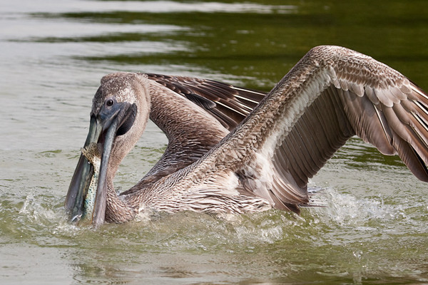 brown pelican<br /> Rio Lagartos, Mexico