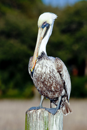 pelican at South Beach, Hilton Head Island