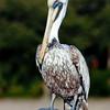 pelican at South Beach, Hilton Head Island