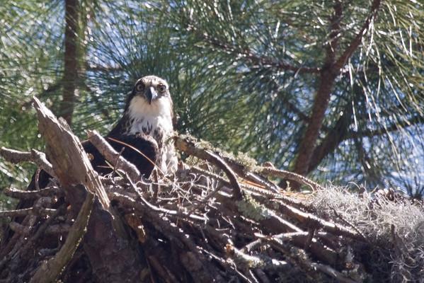 Osprey peeking from nest