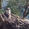 Osprey peeking from nest