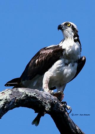 Osprey posing