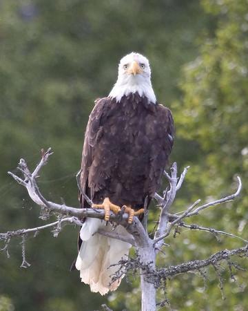 Bald Eagle 3<br /> Redoubt Bay, Alaska