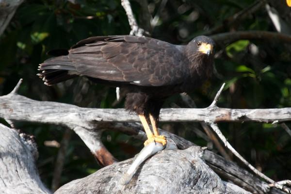 Black hawk with catch<br /> Rio Lagartos, Mexico