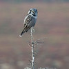 Hawk Owl, Denali National Park