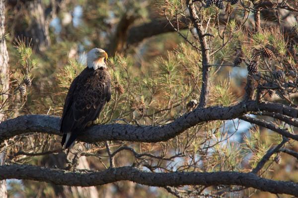 Bald Eagle,   Chincoteague Island