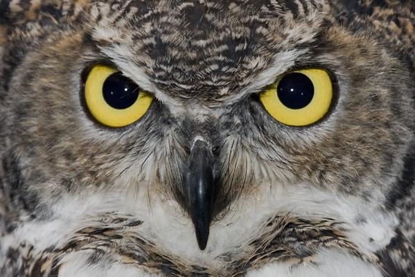 owl close up (captive)