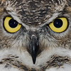 owl close up (captive)