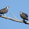 Two osprey chicks, squalking