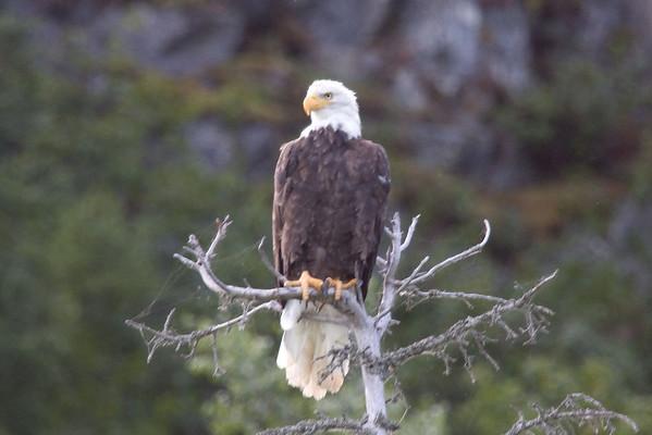 Bald Eagle 2<br /> Redoubt Bay, Alaska