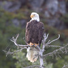 Bald Eagle 2<br /> Redoubt Bay, Alaska