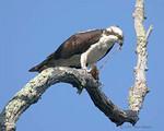 Osprey, feeding