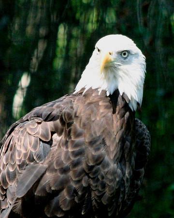 Bald Eagle<br /> Brookgreen Gardens, SC