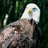 Bald Eagle<br /> Brookgreen Gardens, SC
