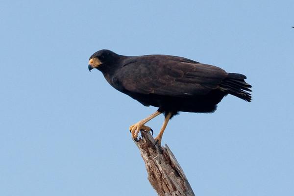 Black Hawk<br /> Rio Lagartos, Mexico