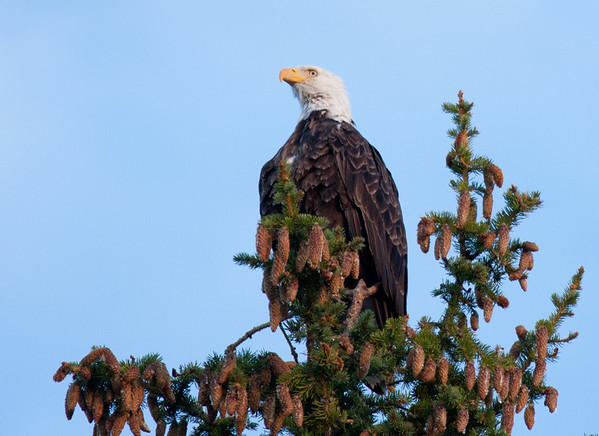 Eagle and Pine  Cones