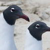 Pair of Laughing Gulls