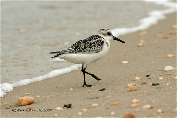 Sanderling, Cape May
