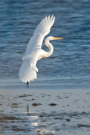 Egret, in for a landing