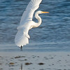 Egret, in for a landing