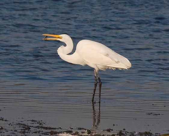 Egret, snacking