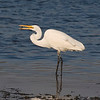 Egret, snacking