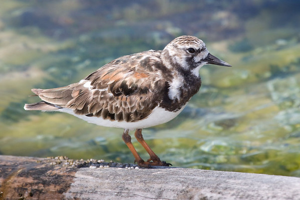 Ruddy Turnstone<br /> Cancun, Mexico