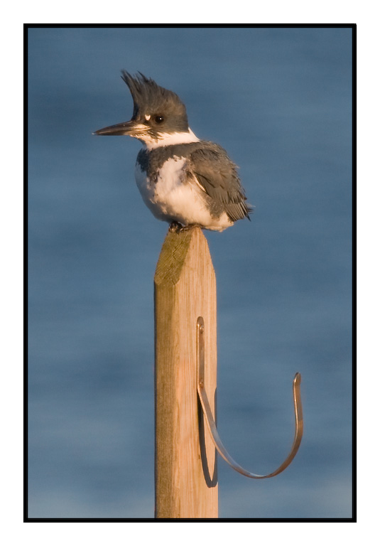 Belted Kingfisher with hook