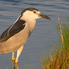 Black Crowned NIght Heron, <br /> Brigantine, NJ