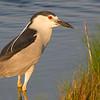 Black Crowned NIght Heron, <br /> Brigantine, NJ
