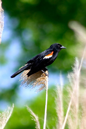redwing blackbird, male