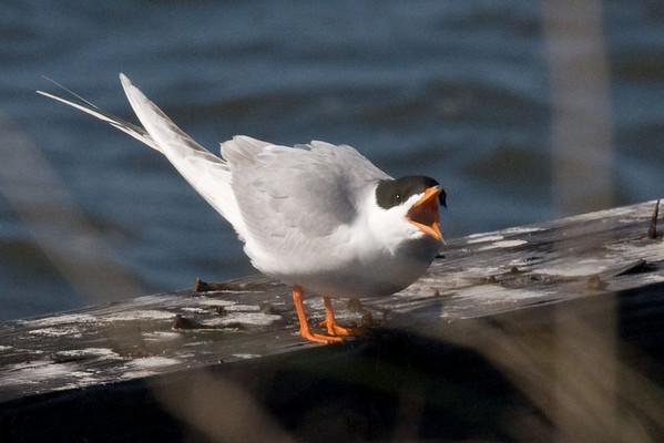 tern, speaking