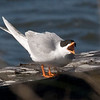 tern, speaking