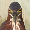 green heron staredown