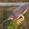 green heron, about to strike