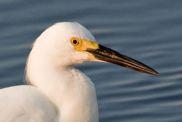 Egret Portrait