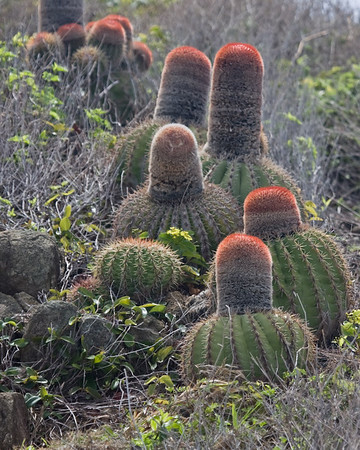 Barrel cactus, in bloom, St. Maarten