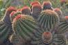 Barrel cactus, St. Maarten
