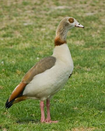 European Goose