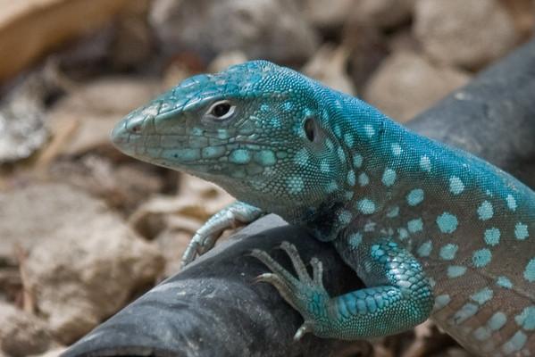 Lizard, Aruba
