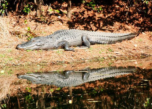 Gator reflection