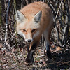 Red Fox<br /> Island Beach St Park