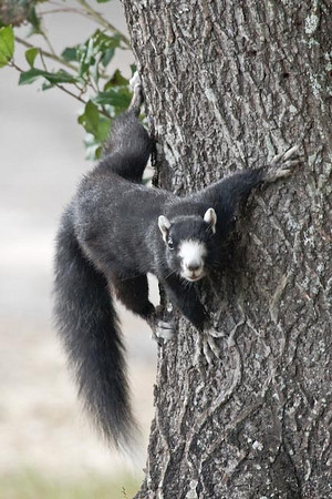 carolina squirrel